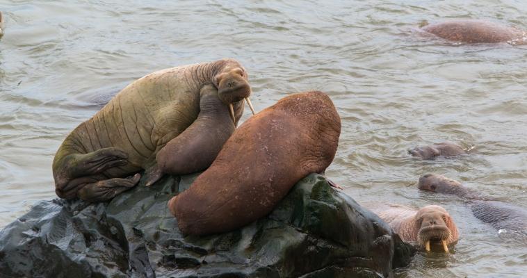 Морзверобои Чукотки открыли сезон охоты на моржей